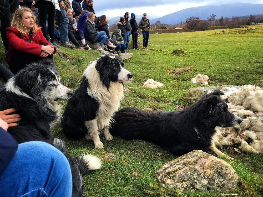 St Andrews - Sheep Dogs